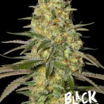 cogollo Black Dream Eva Seeds
